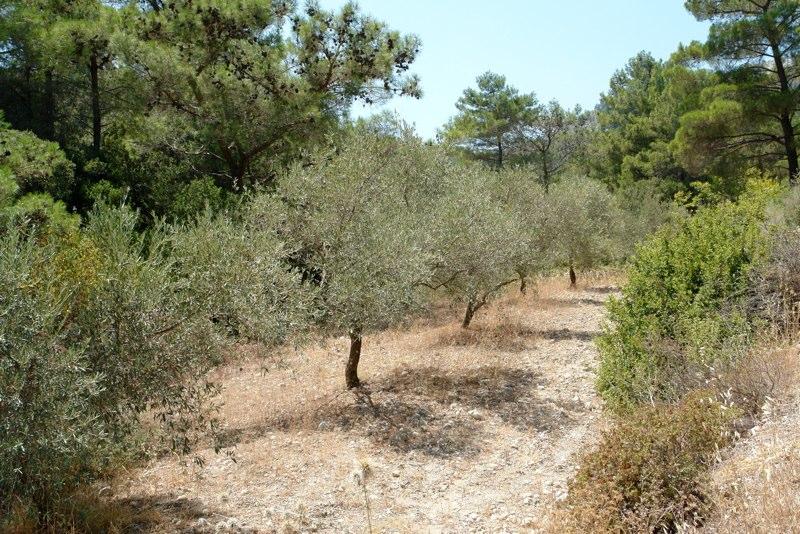 Olivenhain
